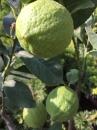 四季檸檬 2