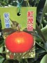 紅茂谷(珍珠柑)