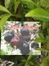 大果黑玫瑰櫻桃