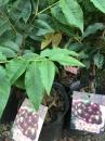 四季艾斯卡樹葡萄