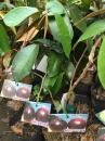 越南大果 紫色星蘋