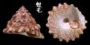 齒輪鐘螺 Trochus rota 2