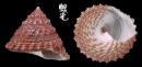 齒輪鐘螺 Trochus rota 5