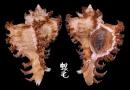 大千手螺 Chicoreus ramosus 6