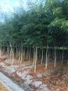 紅櫸木,白櫸木