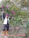 三月杜鵑花樹