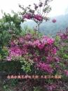 四月杜鵑花樹-南澳杜鵑