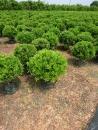 景觀樹木,庭園造景樹木,綠化樹木,園藝樹苗,道路用樹-1