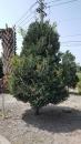景觀樹木,庭園造景樹木,綠化樹木,園藝樹苗,道路用樹-3