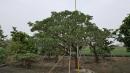 景觀樹木,庭園造景樹木,綠化樹木,園藝樹苗,道路用樹-4