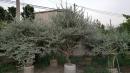 景觀樹木,庭園造景樹木,綠化樹木,園藝樹苗,道路用樹-2