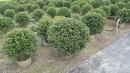 景觀樹木,庭園造景樹木,綠化樹木,園藝樹苗,道路用樹-5