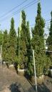 景觀樹木,庭園造景樹木,綠化樹木,園藝樹苗,道路用樹-6