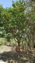 景觀樹木,庭園造景樹木,綠化樹木,園藝樹苗,道路用樹-7