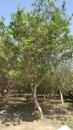 景觀樹木,庭園造景樹木,綠化樹木,園藝樹苗,道路用樹-8