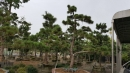 景觀樹木,庭園造景樹木,綠化樹木,園藝樹苗,道路用樹-10