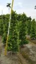 景觀樹木,庭園造景樹木,綠化樹木,園藝樹苗,道路用樹-12
