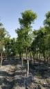 景觀樹木,庭園造景樹木,綠化樹木,園藝樹苗,道路用樹-13