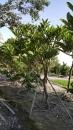 景觀樹木,庭園造景樹木,綠化樹木,園藝樹苗,道路用樹-14