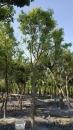 景觀樹木,庭園造景樹木,綠化樹木,園藝樹苗,道路用樹-15