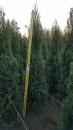 景觀樹木,庭園造景樹木,綠化樹木,園藝樹苗,道路用樹-21