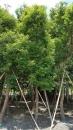 景觀樹木,庭園造景樹木,綠化樹木,園藝樹苗,道路用樹-22