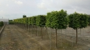 景觀樹木,庭園造景樹木,綠化樹木,園藝樹苗,道路用樹-23