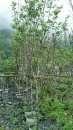 景觀樹木,庭園造景樹木,綠化樹木,園藝樹苗,道路用樹-24