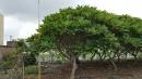 景觀樹木,庭園造景樹木,綠化樹木,園藝樹苗,道路用樹-26
