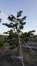 景觀樹木,庭園造景樹木,綠化樹木,園藝樹苗,道路用樹-27