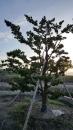 景觀樹木,庭園造景樹木,綠化樹木,園藝樹苗,道路用樹-28