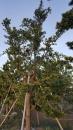 景觀樹木,庭園造景樹木,綠化樹木,園藝樹苗,道路用樹-29