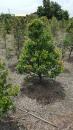 景觀樹木,庭園造景樹木,綠化樹木,園藝樹苗,道路用樹-30