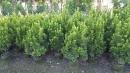 景觀樹木,庭園造景樹木,綠化樹木,園藝樹苗,道路用樹-31