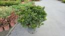 景觀樹木,庭園造景樹木,綠化樹木,園藝樹苗,道路用樹-32