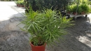 景觀樹木,庭園造景樹木,綠化樹木,園藝樹苗,道路用樹-33