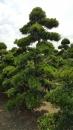 景觀樹木,庭園造景樹木,綠化樹木,園藝樹苗,道路用樹-34