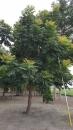 景觀樹木,庭園造景樹木,綠化樹木,園藝樹苗,道路用樹-35