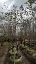 景觀樹木,庭園造景樹木,綠化樹木,園藝樹苗,道路用樹-38