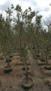 景觀樹木,庭園造景樹木,綠化樹木,園藝樹苗,道路用樹-39