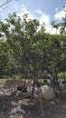 景觀樹木,庭園造景樹木,綠化樹木,園藝樹苗,道路用樹-40
