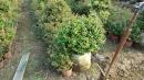 景觀樹木,庭園造景樹木,綠化樹木,園藝樹苗,道路用樹-42