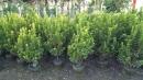 景觀樹木,庭園造景樹木,綠化樹木,園藝樹苗,道路用樹-44