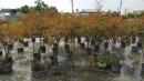 景觀樹木,庭園造景樹木,綠化樹木,園藝樹苗,道路用樹-51