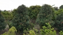 景觀樹木,庭園造景樹木,綠化樹木,園藝樹苗,道路用樹-52