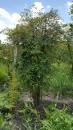 景觀樹木,庭園造景樹木,綠化樹木,園藝樹苗,道路用樹-53