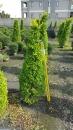 景觀樹木,庭園造景樹木,綠化樹木,園藝樹苗,道路用樹-54