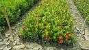 景觀樹木,庭園造景樹木,綠化樹木,園藝樹苗,道路用樹-58