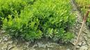 景觀樹木,庭園造景樹木,綠化樹木,園藝樹苗,道路用樹-59