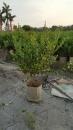 景觀樹木,庭園造景樹木,綠化樹木,園藝樹苗,道路用樹-62